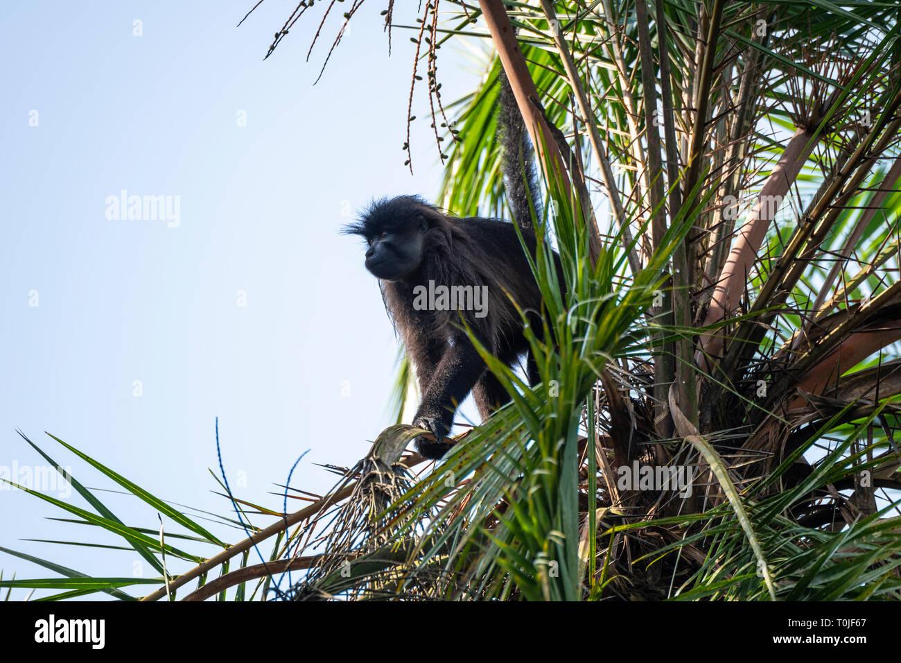 Ugandan red colobus monkey (Procolobus tephrosceles) about to leap from tree, Bigodi Wetland Sanctuary, Magombe Swamp, South West Uganda, East Africa - Stock Image