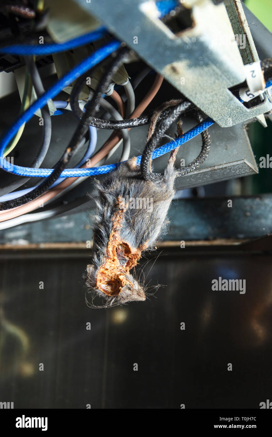 Close-up of the mummified corpse of a mouse trapped in the wiring of a domestic cooker - Stock Image