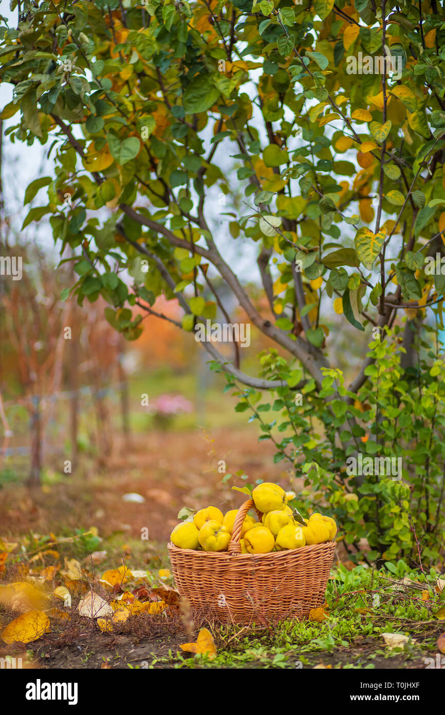 Quince autumn harvest, full basket of quince in the garden. Growing organic fruits on the farm. Stock Photo