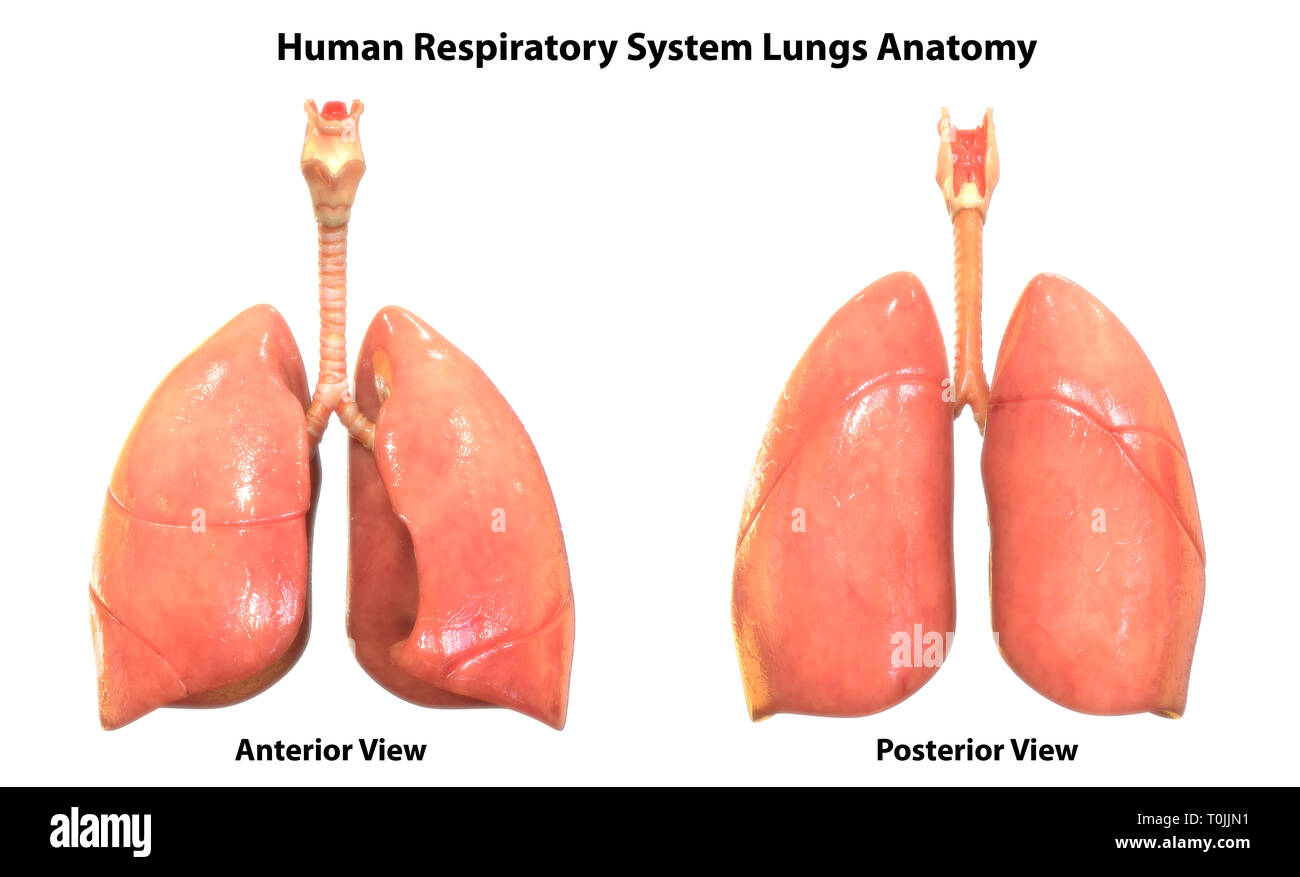 Human Respiratory System Lungs Anatomy - Stock Image