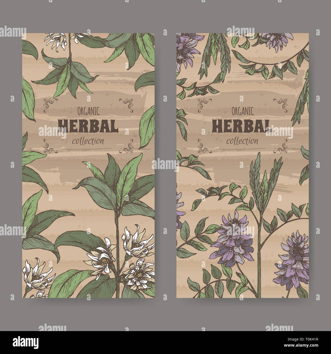 Two labels wuth Illicium verum aka star anise or badiane and Glycyrrhiza glabra aka liquorice color sketch. Stock Vector