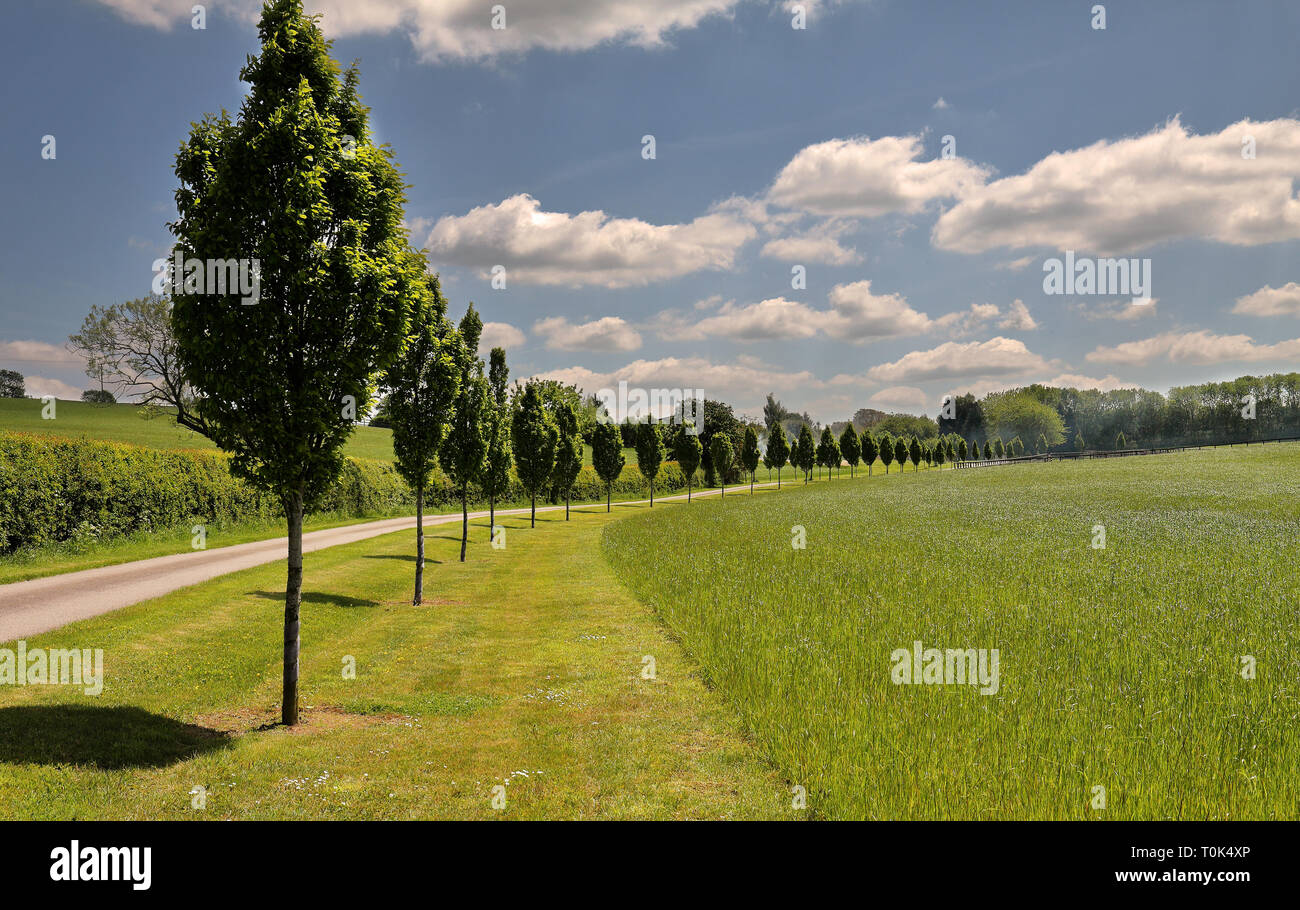 English Rural lane lined with young Poplar trees - Stock Image
