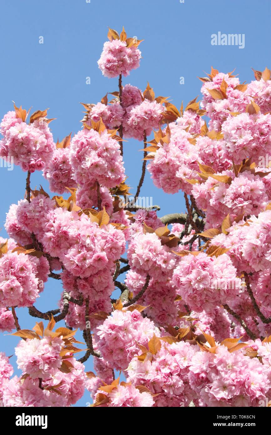 Pink cherry blossom flowers in spring season Stock Photo