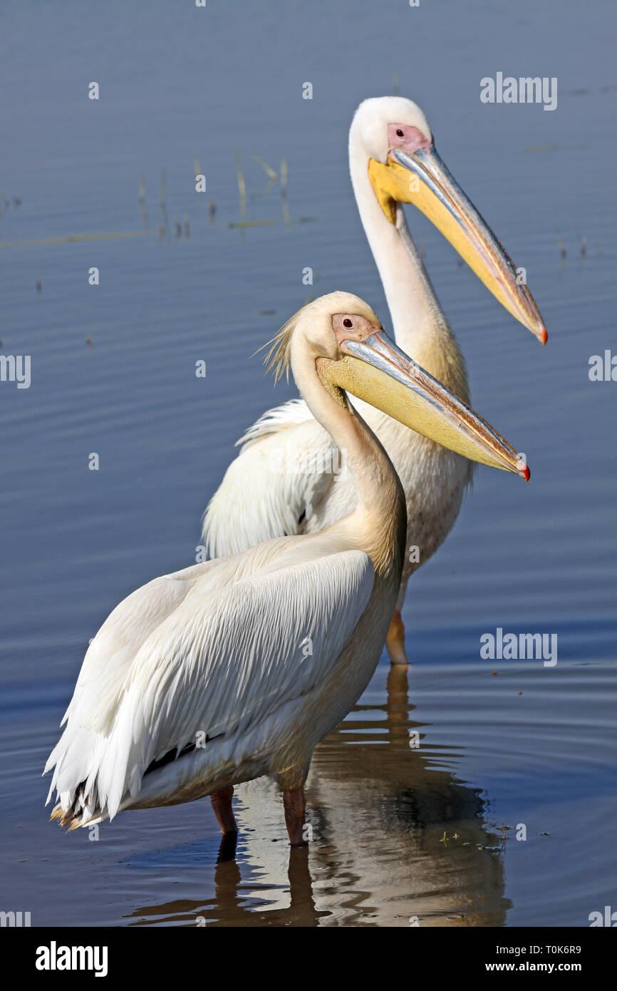 White Pelicans Pelecanus onocrotalus - Stock Image