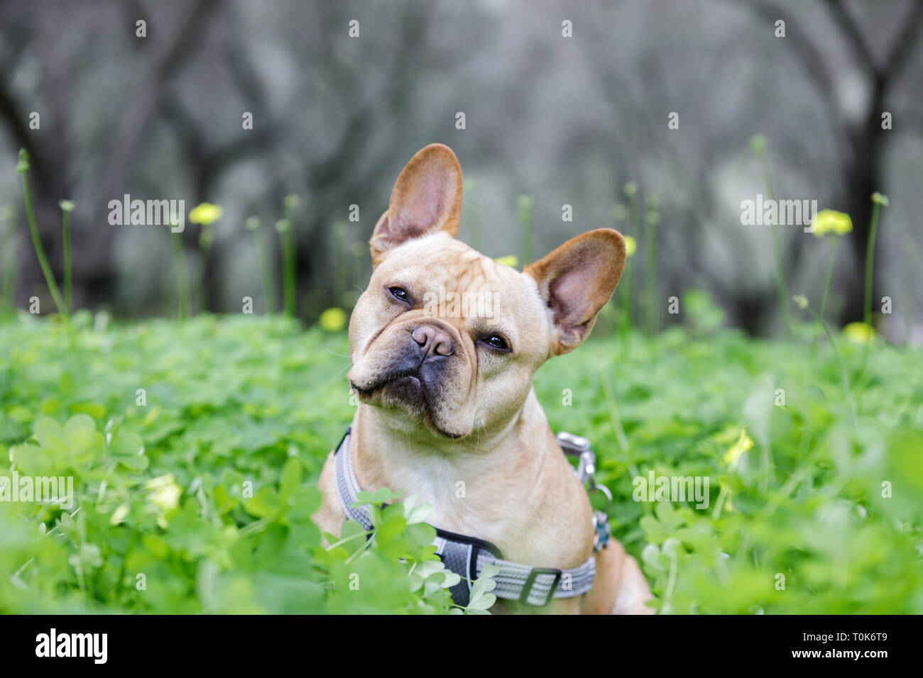 Young Frenchie Tilting Head in front of Olive Tree Grove. - Stock Image