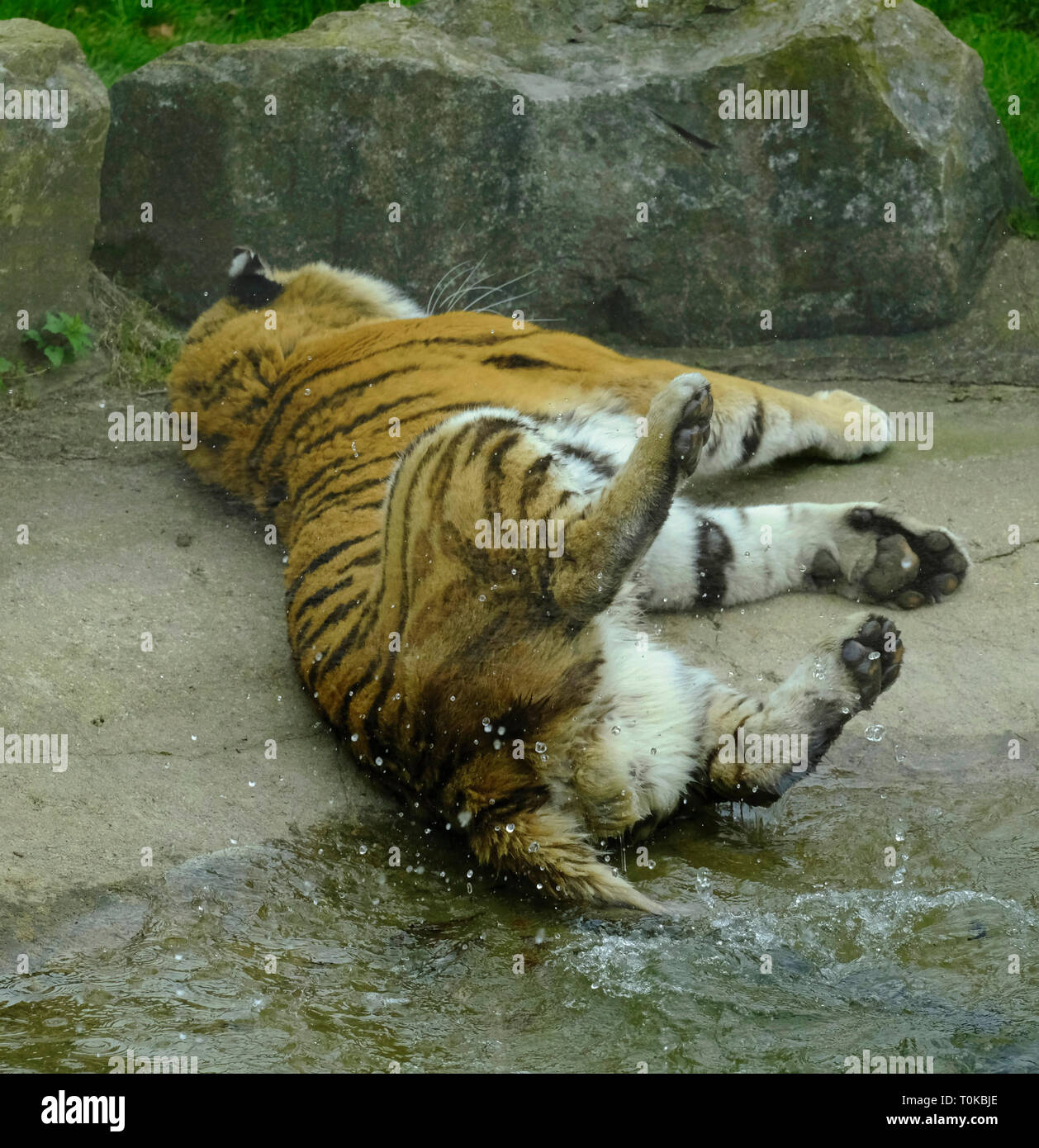 Captive Amur Tiger playing by swishing his tail in his pool of water Stock Photo