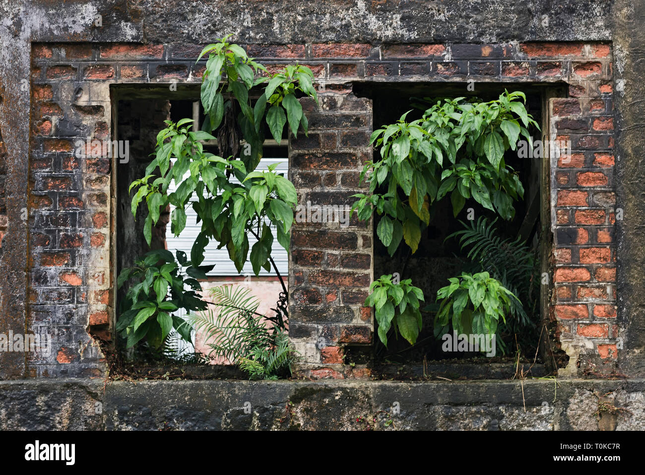 Plants growing inside an abandoned house - Stock Image