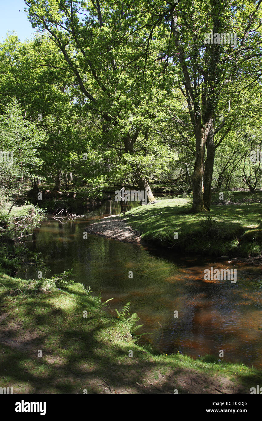 Ober Water stream and Beech Fagus sylvatica woodland in spring Rhinefield Walk New Forest National Park England UK Stock Photo