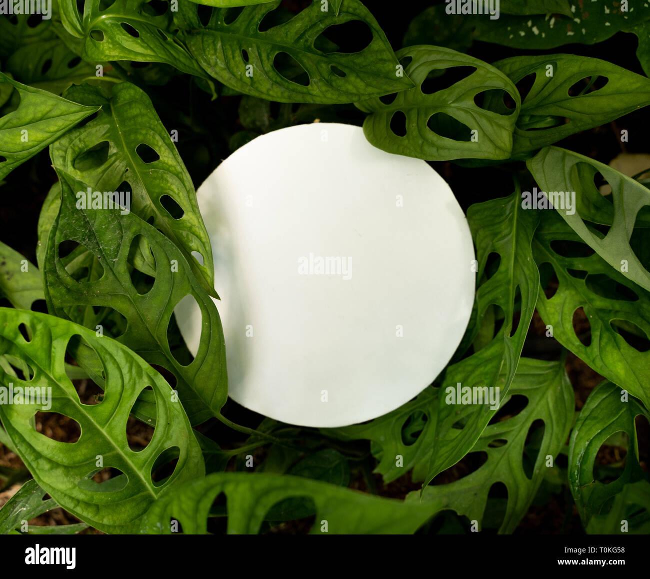 Monstera Adansonii or swiss cheese plant - Stock Image