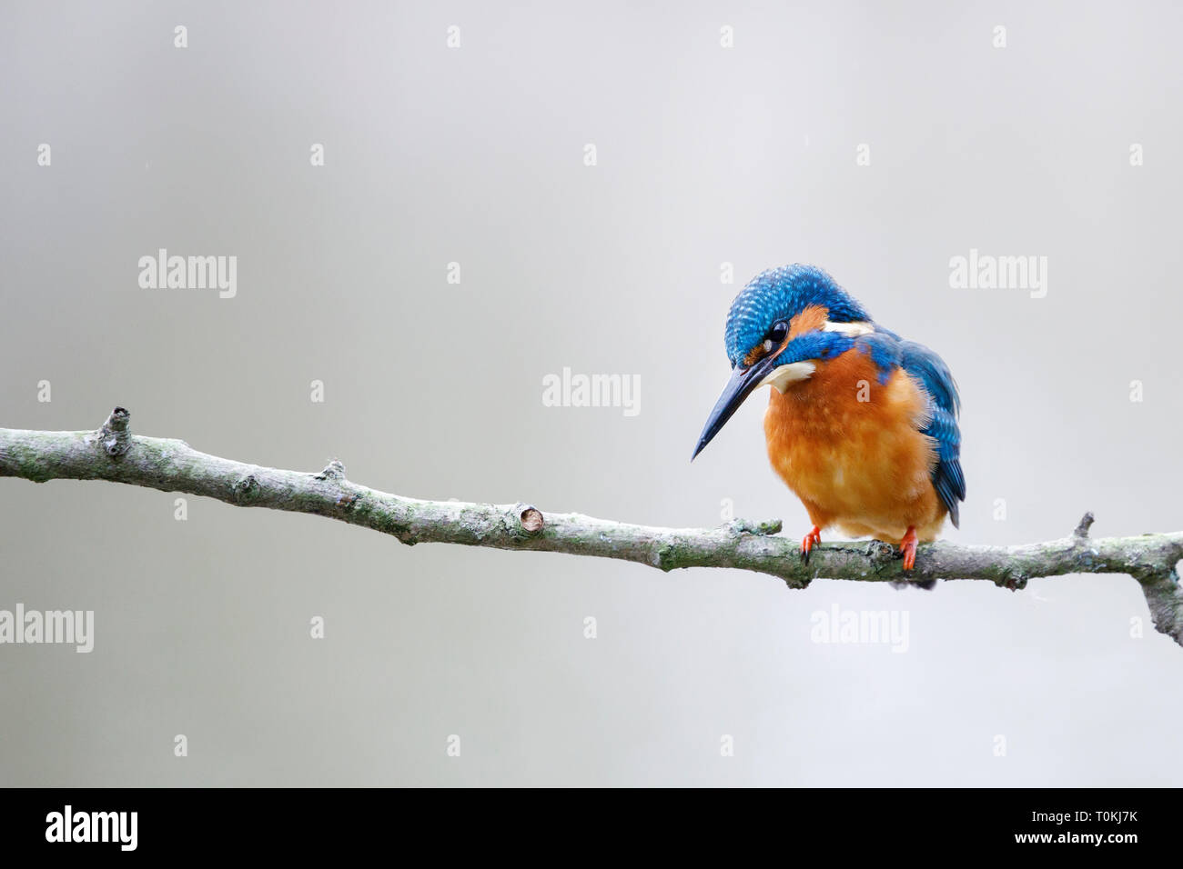 Common kingfisher, Alcedo atthis, perched on the branch Stock Photo