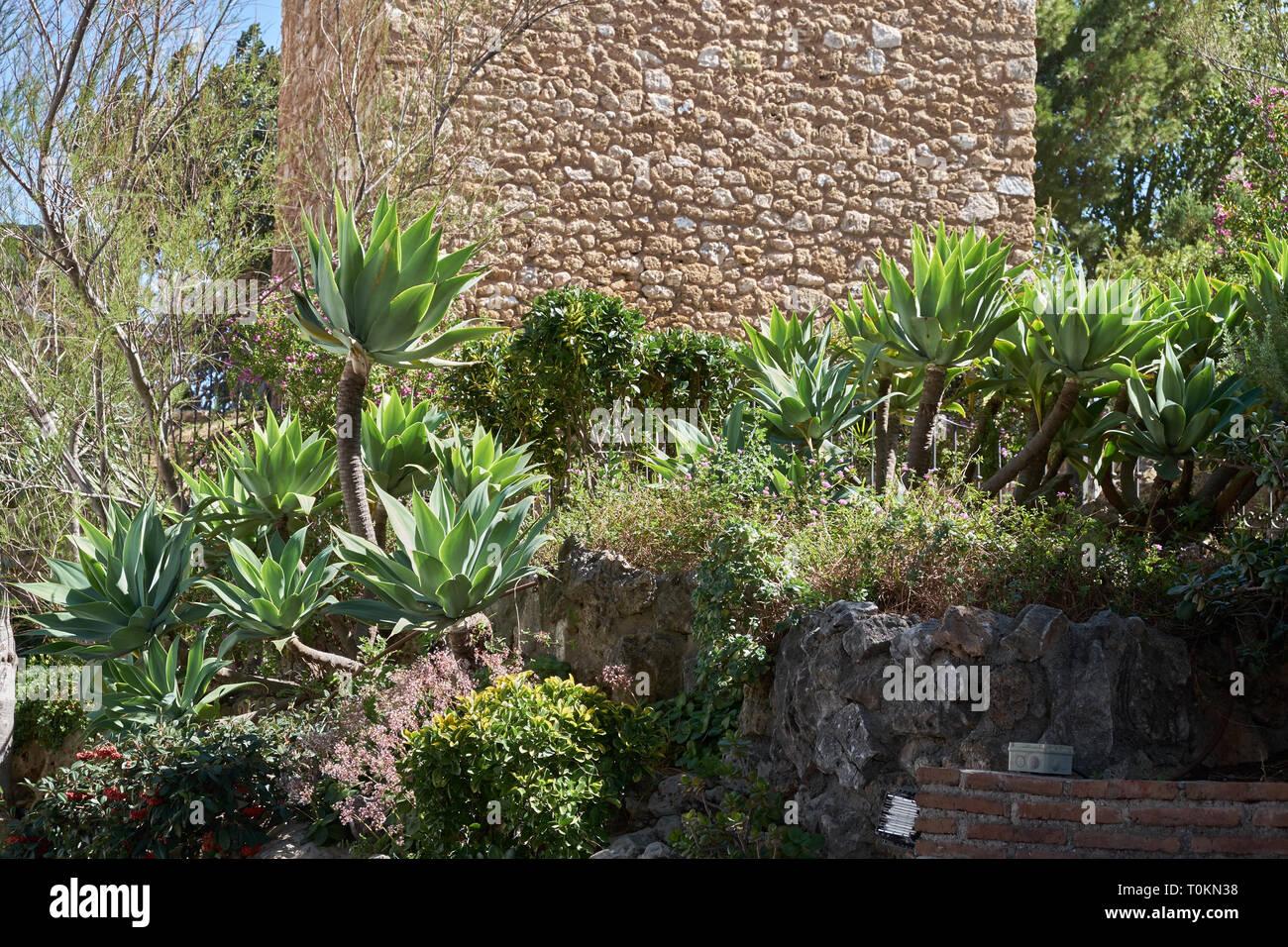 Agave attenuata. Mijas, Málaga, Spain. - Stock Image