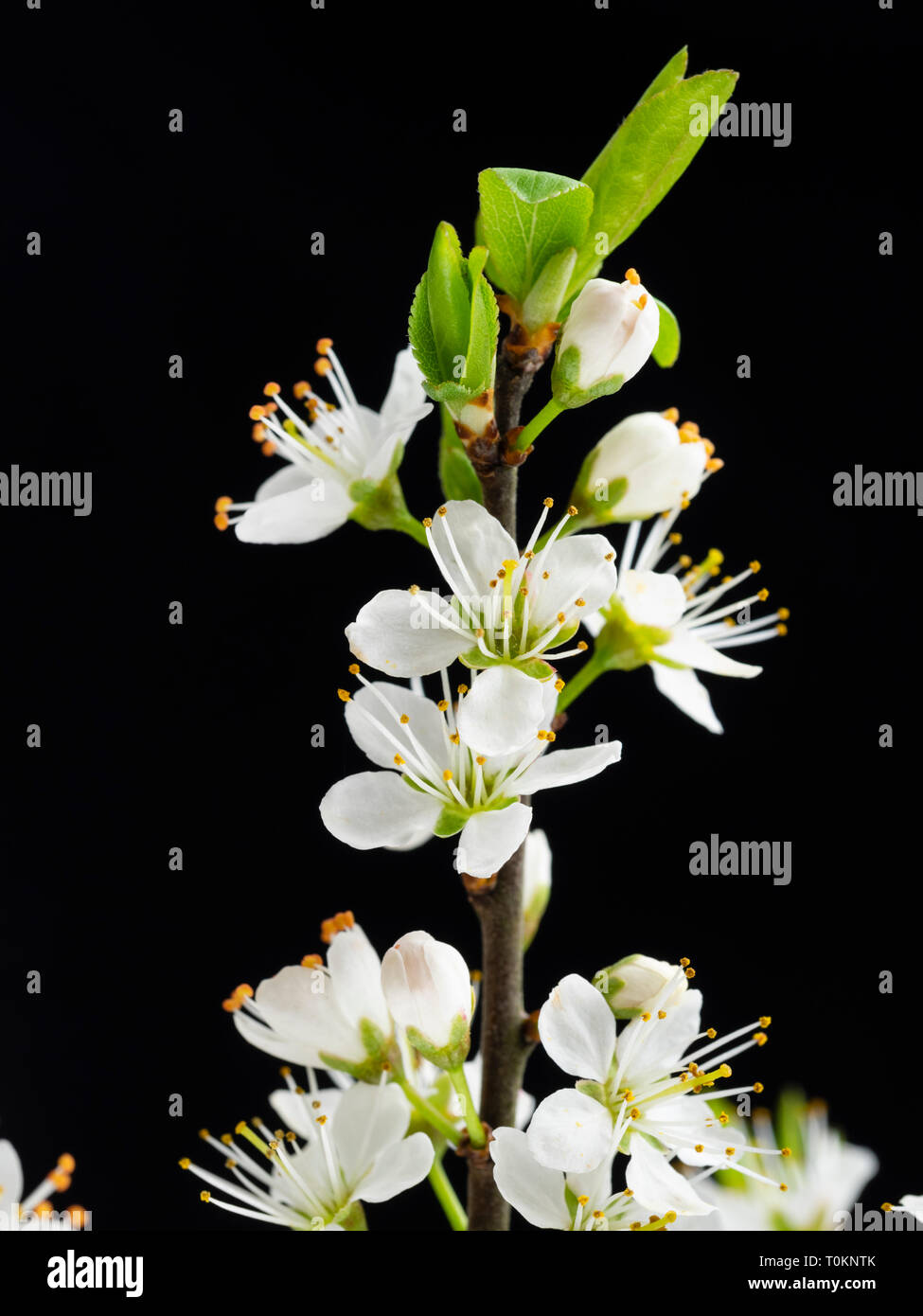 White spring flowers of the blackthorn, Prunus spinosa, against a black background - Stock Image