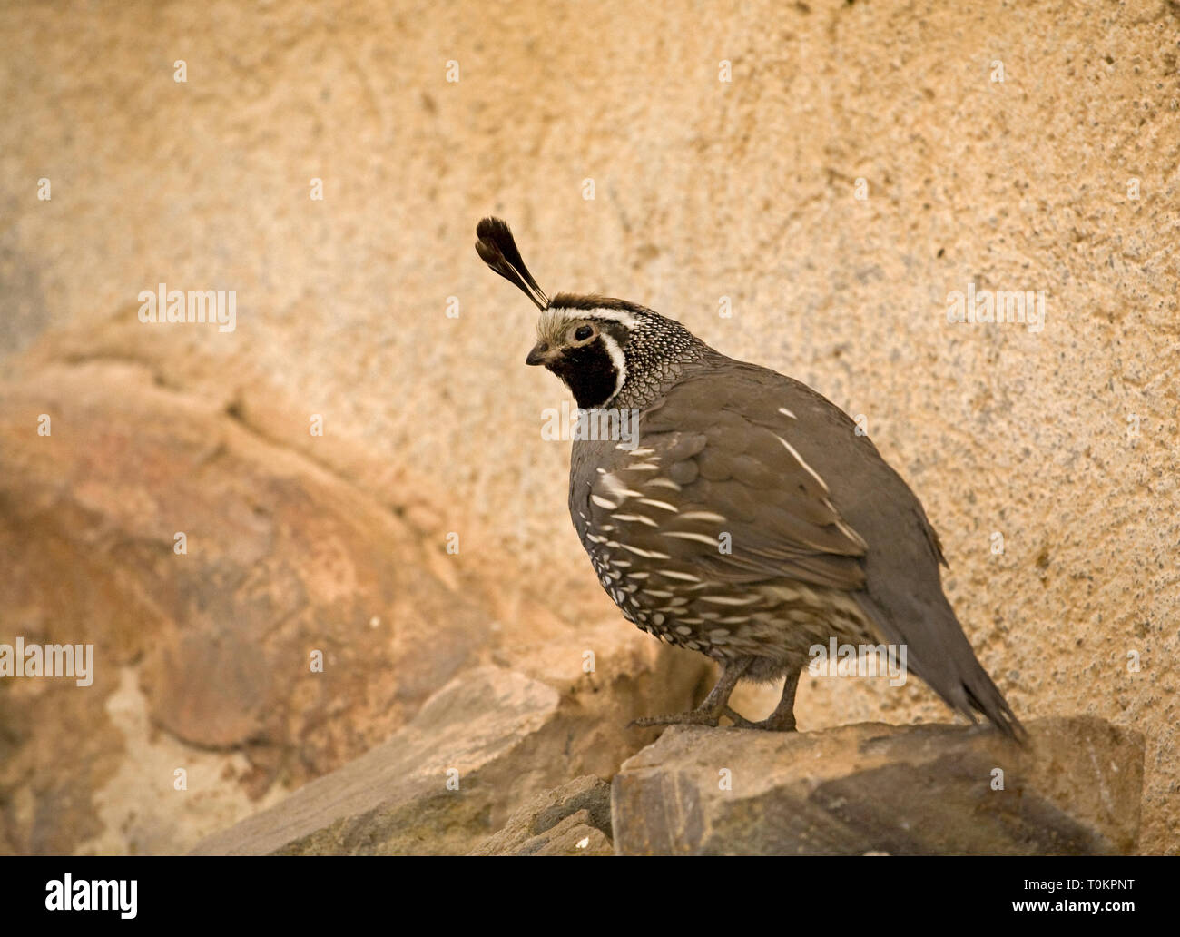 A male California quail, Callipepla californica, in the desert in southern Baja, Mexico - Stock Image