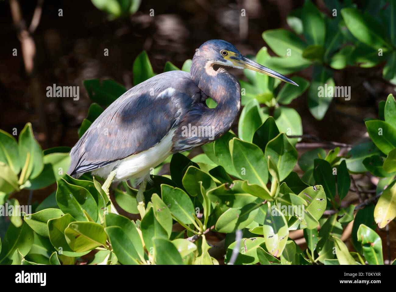 Tricolored heron (Egretta tricolor) in J.N. Ding Darling National Wildlife Refuge, Sanibel Island, Florida, USA - Stock Image