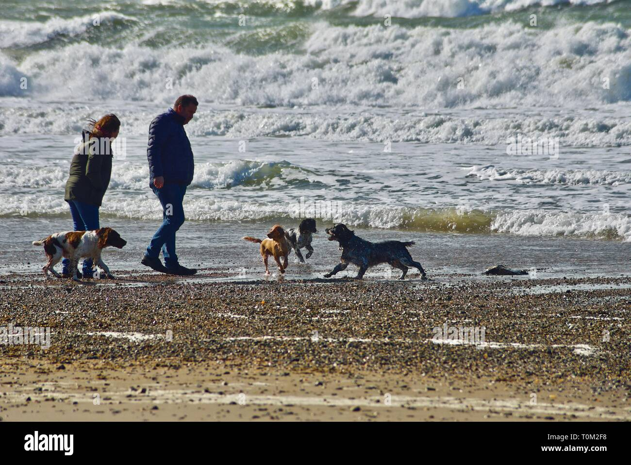 A middle aged couple throw a stick into a wild sea for their four dogs to chase on a windy beach, Rhosneigr, Anglesey, North Wales, UK - Stock Image