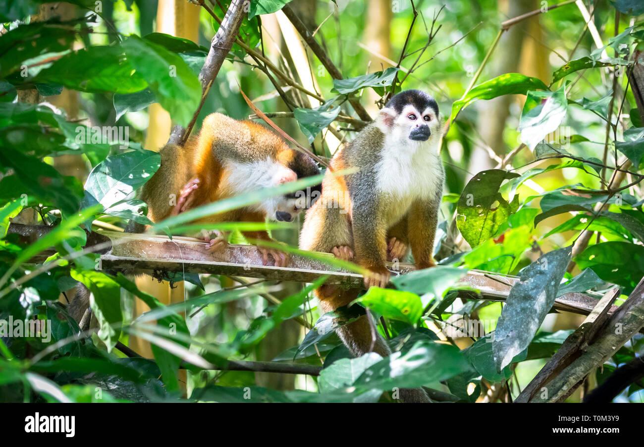 Squirrel monkeys in trees - photo#55