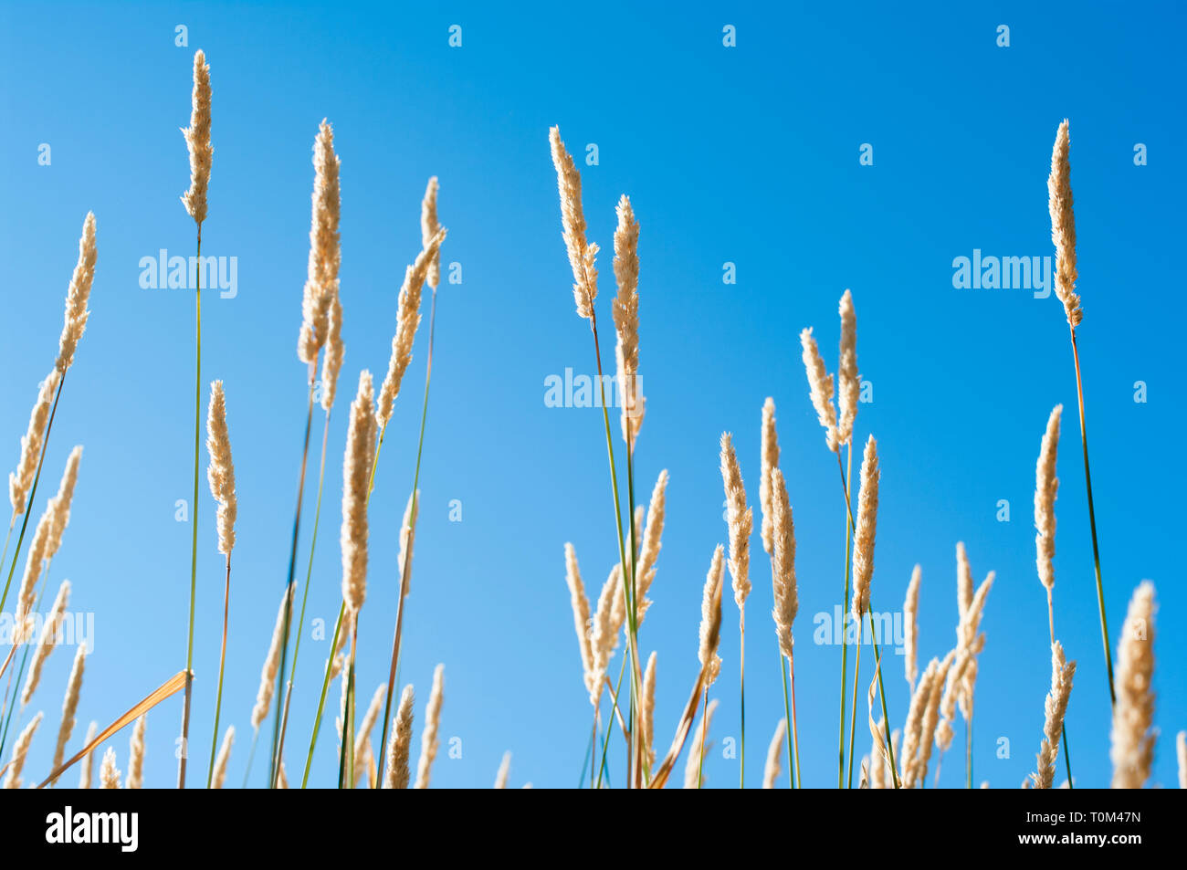 Yellow grasses sidelit against a clear blue sky on a summer morning Stock Photo