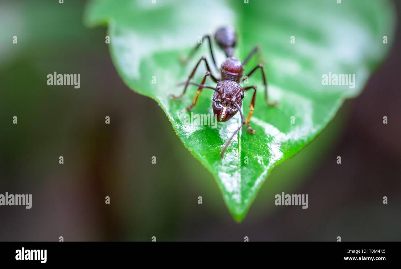 Bullet ant (Paraponera clavata) near Puerto Viejo de Sarapiqui, Costa Rica. Stock Photo