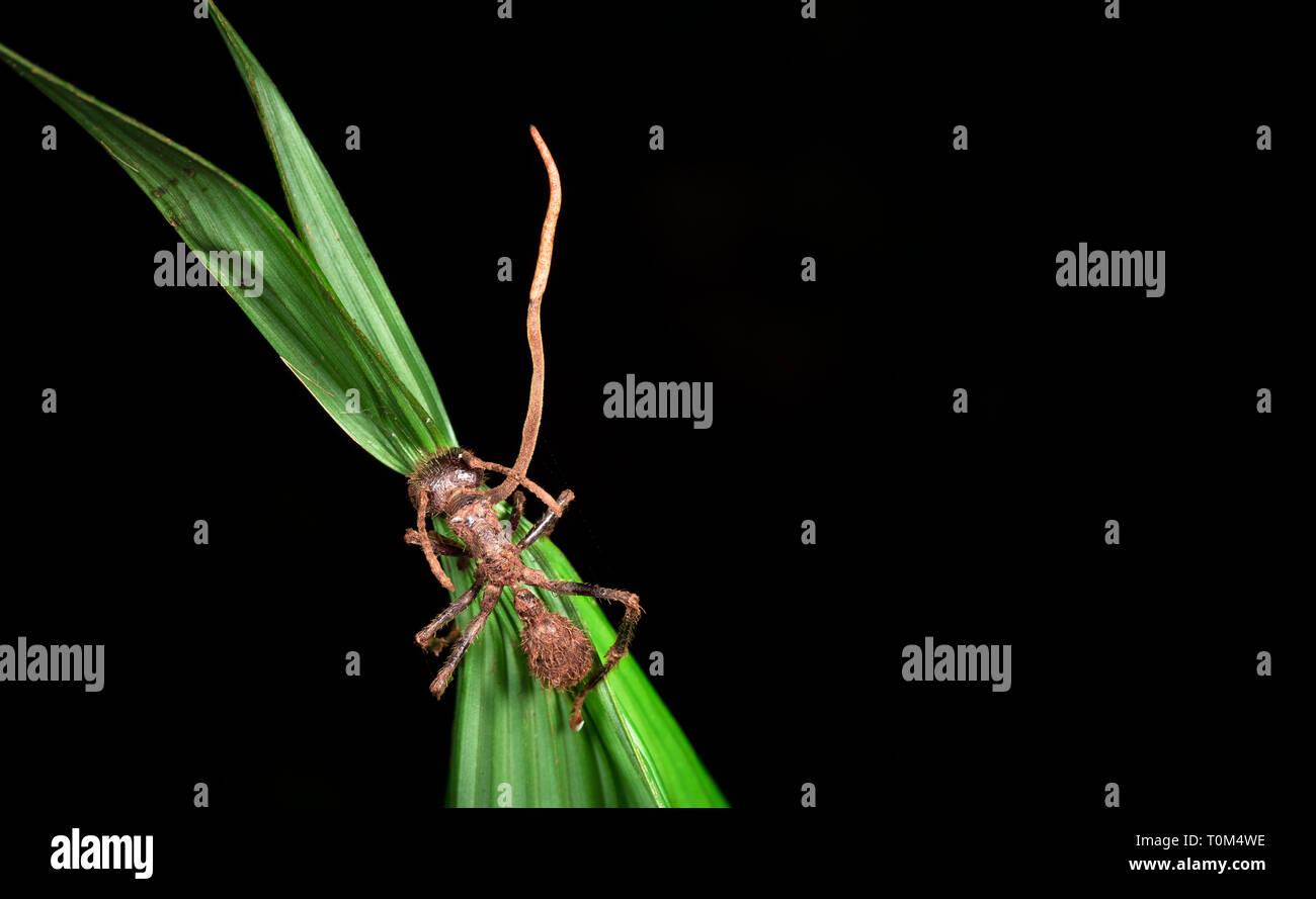 Cordyceps fungus growing from a bullet ant (Paraponera clavata) near Puerto Viejo de Sarapiqui, Costa Rica. - Stock Image