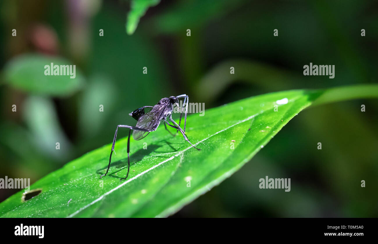 Large black wasp with a cup-like appendage on its abdomen in the Tapanti-Macizo Cerro de la Muerte National Park, Costa Rica. - Stock Image