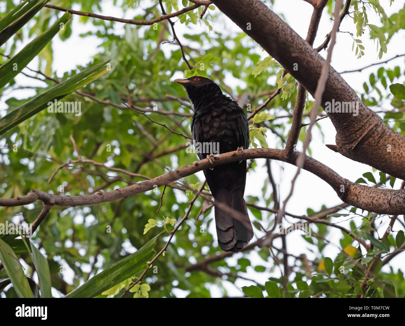 Closeup Male Asian Koel Bird Perched on Branch - Stock Image