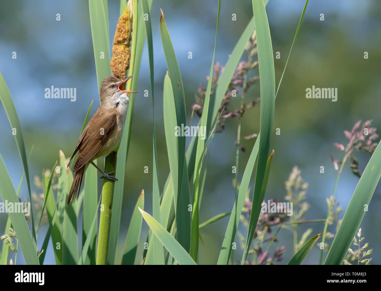 Male Great reed warbler singing at reedmaces - Stock Image