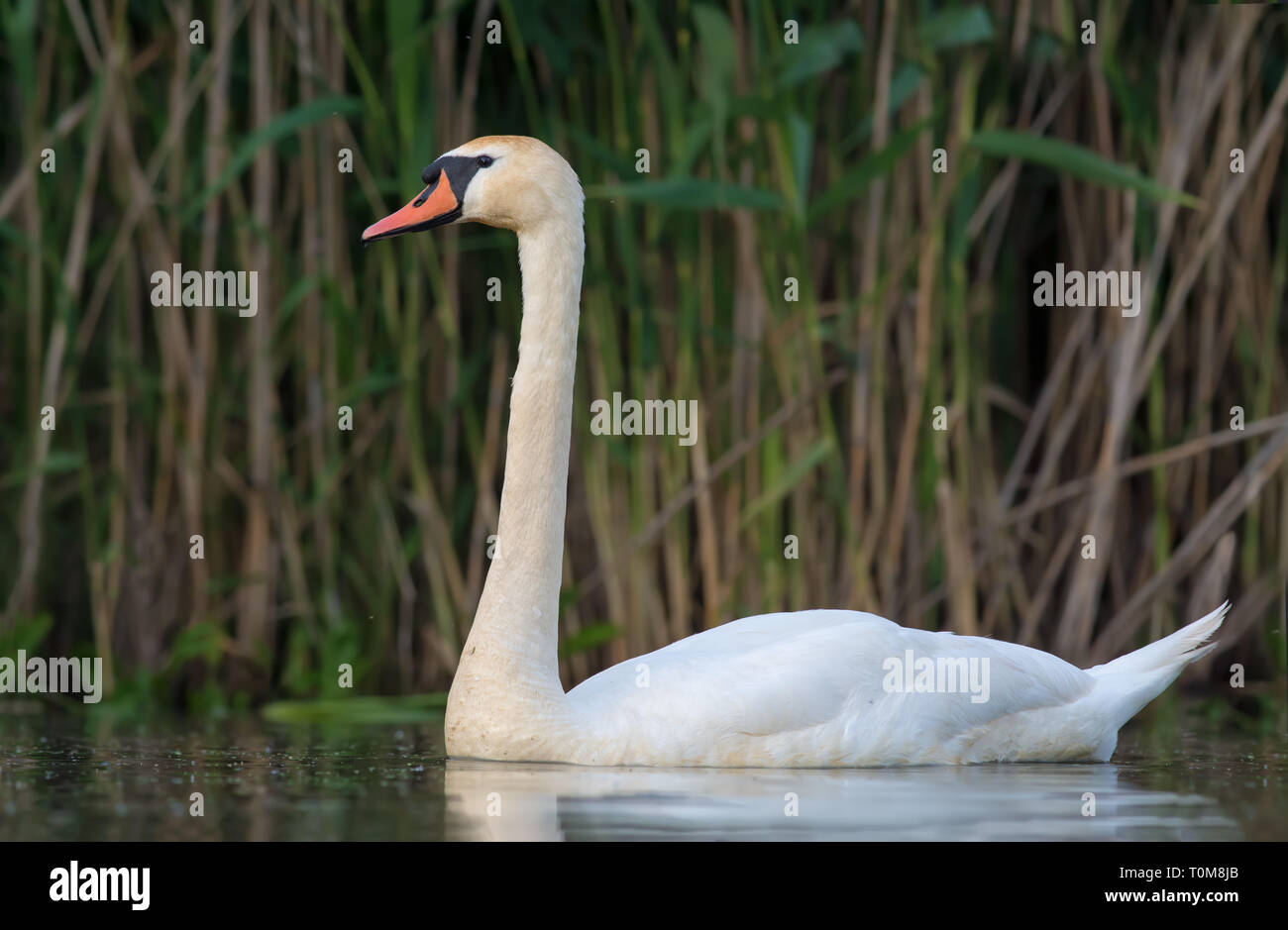 Mute swan swimming tight shot on the river - Stock Image