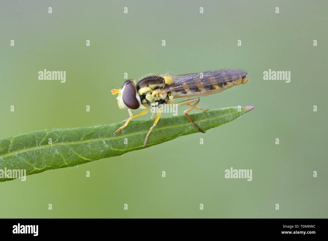 Hoverfly, sometimes called flower fly or syrphid fly, a very beneficilai insect as a pollinator and predator of aphids. - Stock Image