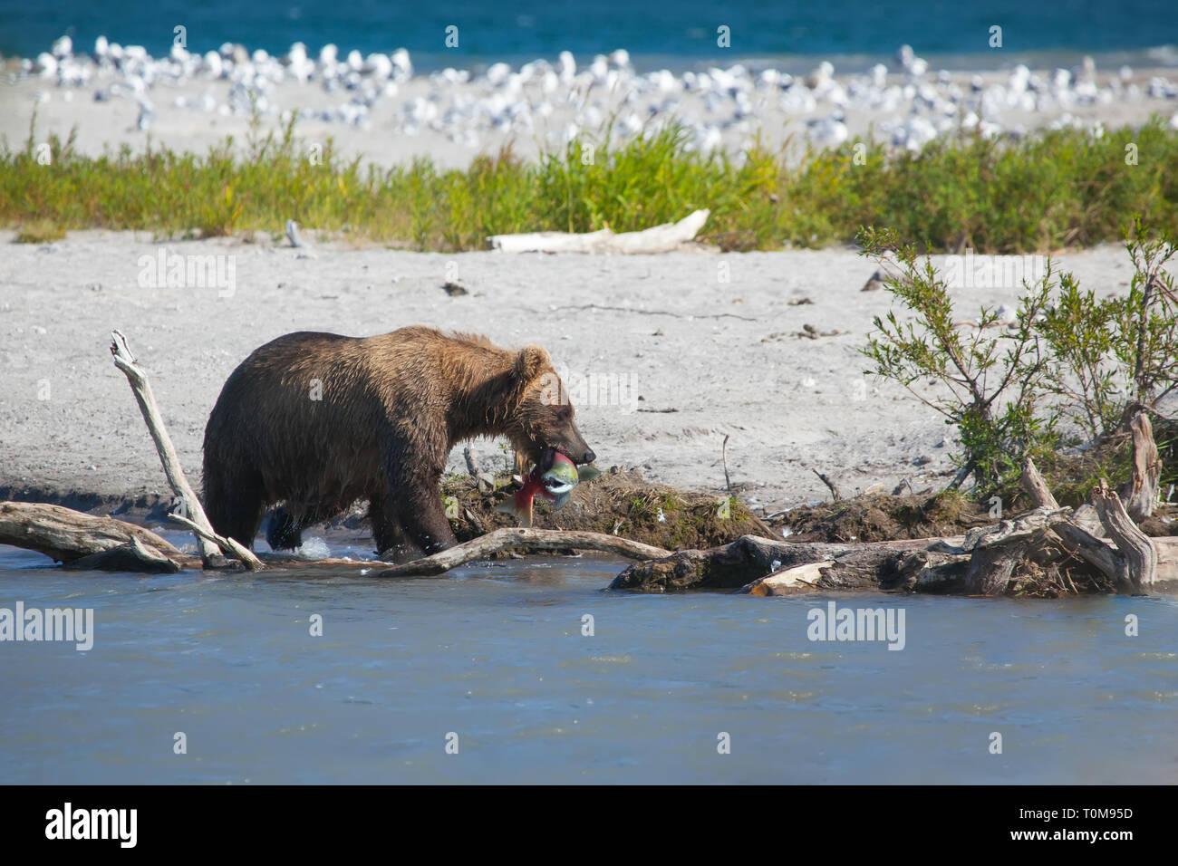 A brown wild  bear fishing in Kuril lake. Kkronotsky nature reserve. Kamchatka. Russia. - Stock Image