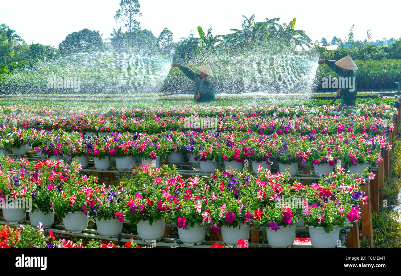 Gardener waters for the Petunias flowers in a garden in the moring at Sa Dec, Dong Thap, Vietnam - Stock Image