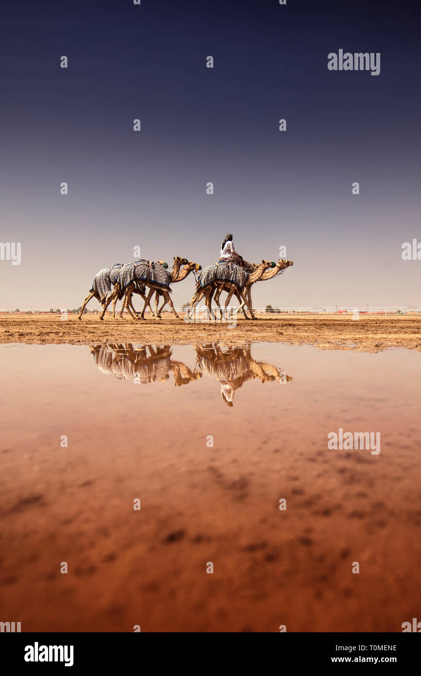 Camels reflected in puddle after a rainy day, Saudi Arabia Stock Photo
