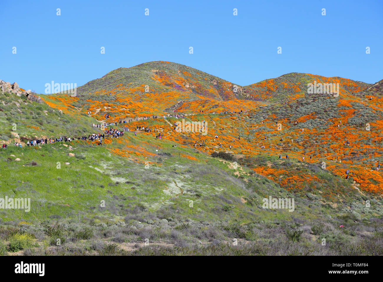 Lake Elsinore, CA / USA - March 16, 2019: In a wide view, a large crowd is shown visiting the orange poppy wildflower super bloom at Walker Canyon. Th - Stock Image