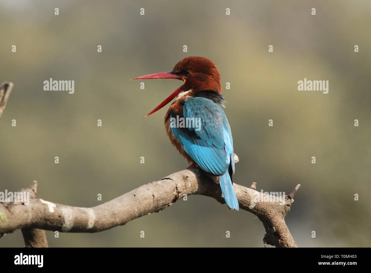 White-throated kingfisher on tree with beak opened - Stock Image