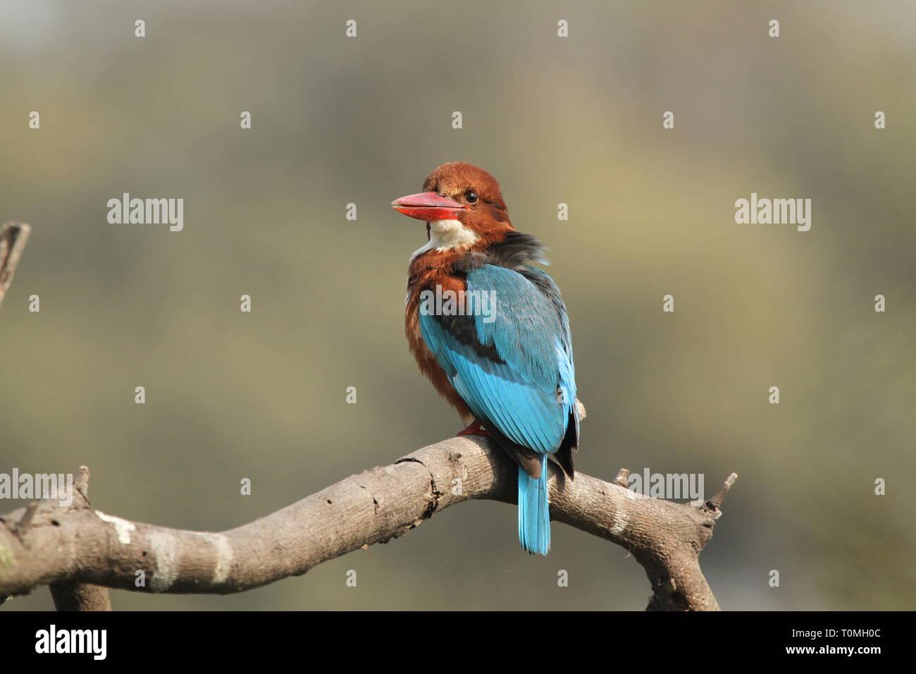 White-throated kingfisher on tree - Stock Image