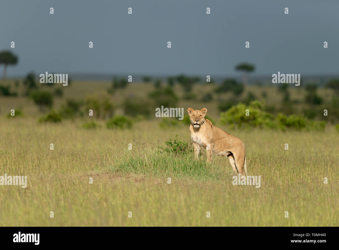 97e62158dbf Lioness in a golden Light at Masai Mara Game Reserve,Kenya,Africa ...