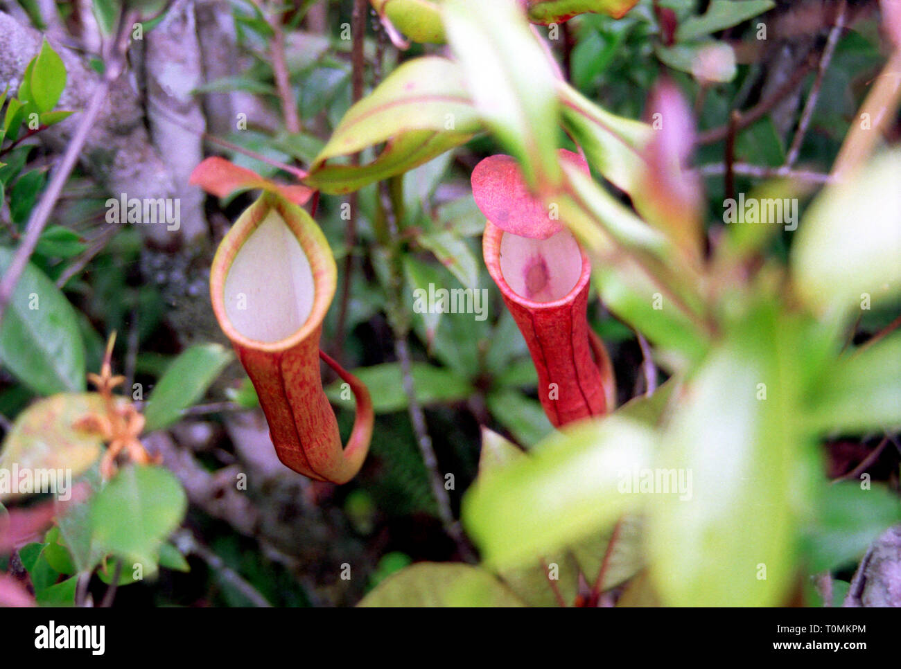 Pitcher plants in the high-altitude rainforest of the Cameron Highlands, West Malaysia Stock Photo