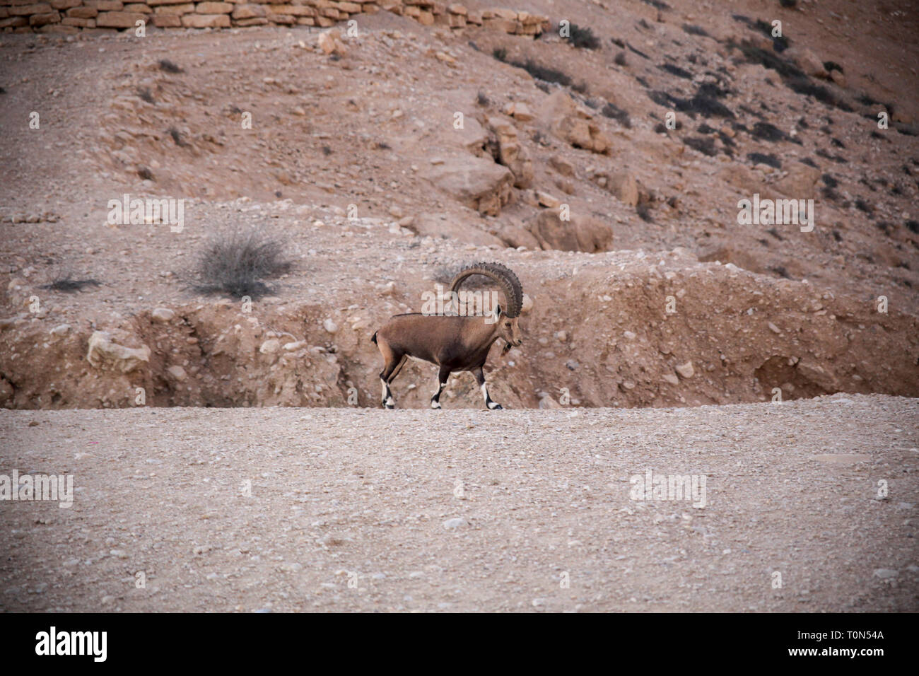 Impressive Male Nubian Ibex (Capra ibex nubiana AKA Capra nubiana). Photographed at Kibbutz Sde Boker, Negev Desert, Israel in September Stock Photo