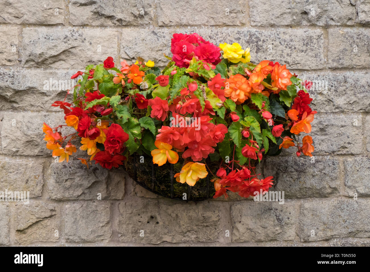 Hanging basket full of orange begonias hanging outside as a decoration on the wall of a building. - Stock Image