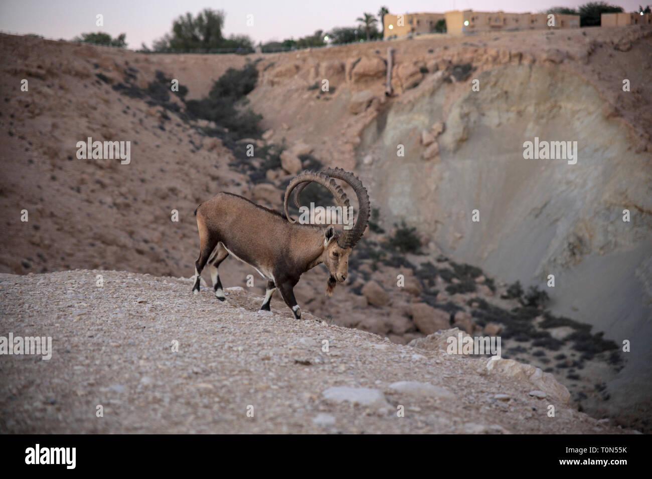 Impressive Male Nubian Ibex (Capra ibex nubiana AKA Capra nubiana). Photographed at Kibbutz Sde Boker, Negev Desert, Israel in September Stock Photo
