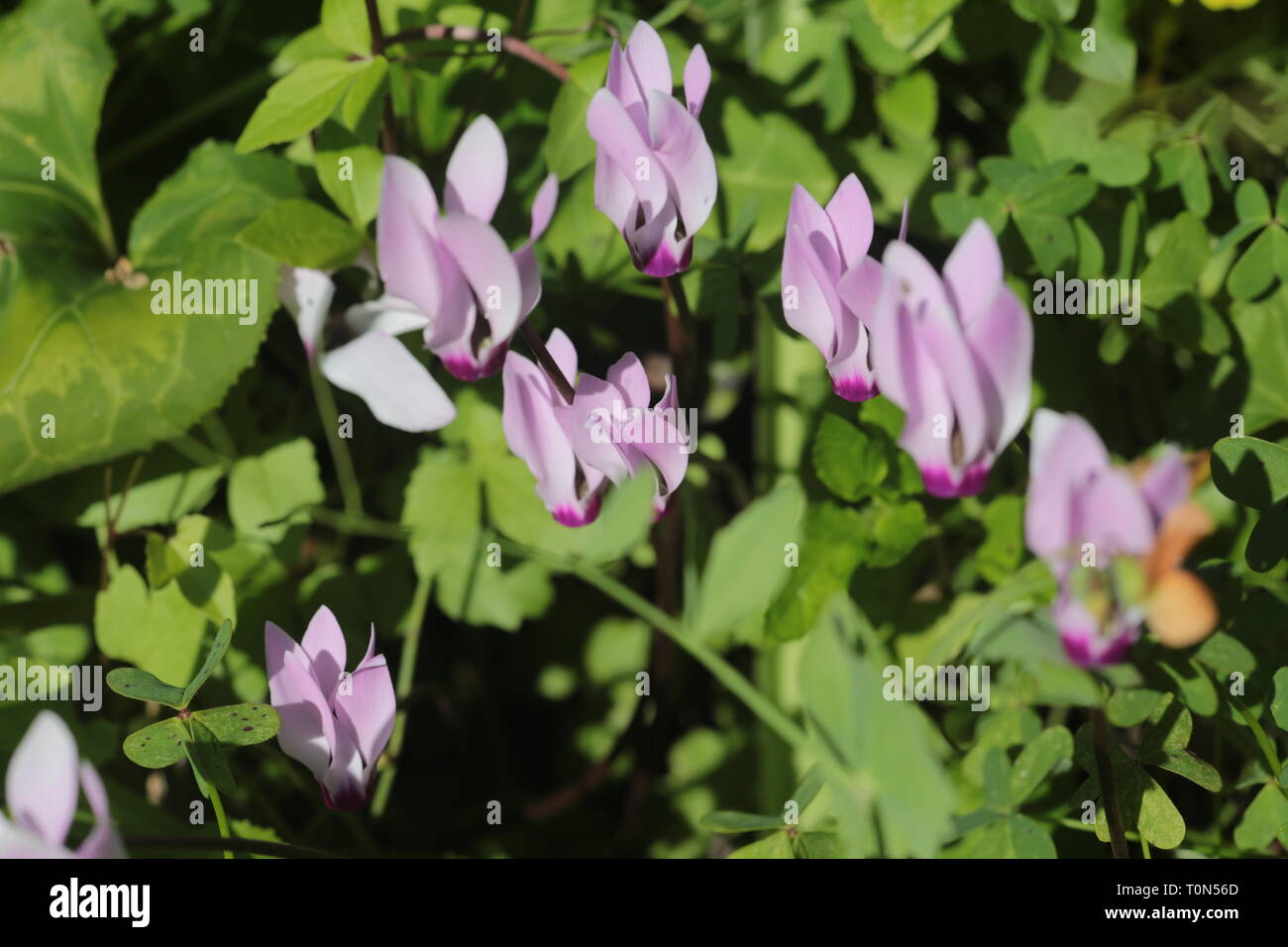 Cyclamen persicum, the Persian cyclamen, is a species of flowering herbaceous perennial plant growing from a tuber, native to rocky hillsides, shrubla Stock Photo