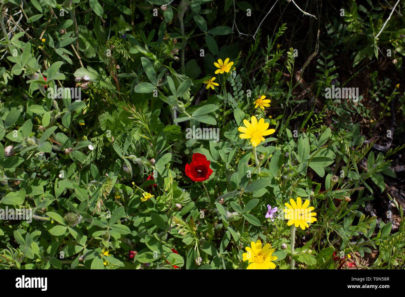 A field of Israeli wildflowers blooming in vibrant colours in spring. Photographed in Israel in March Stock Photo