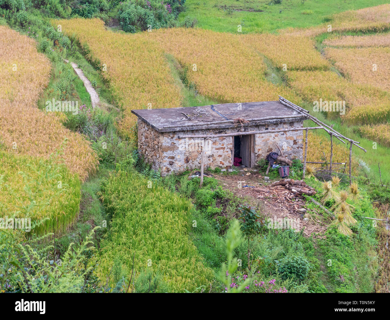 view between bamboo trees on a small farmhouse surrounded by rice paddies, Yunnan, China. - Stock Image