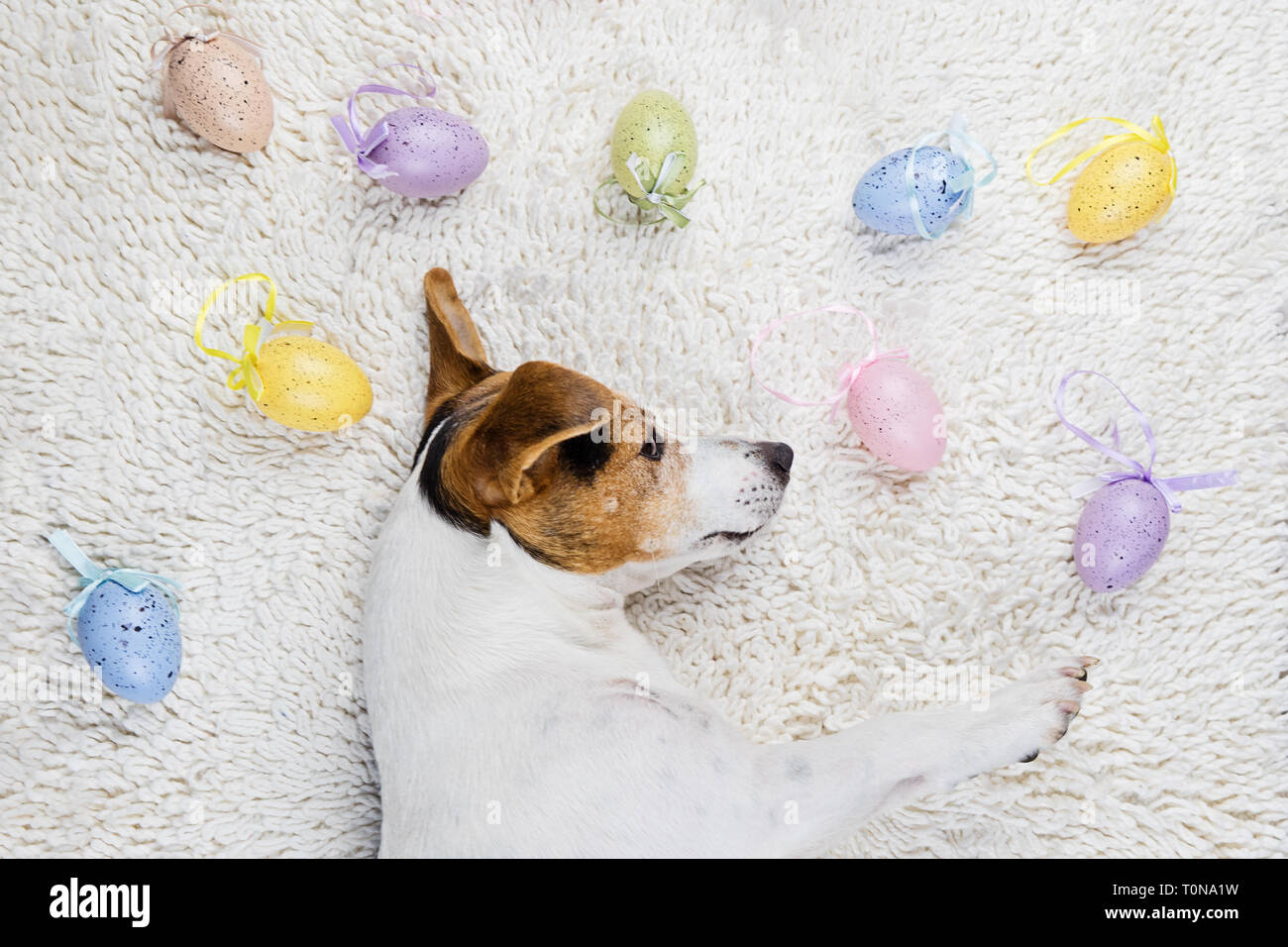 Cute puppy dog lying back on white rug with Easter painted eggs. Happy Easter Eggs Hunt concept greeting card, above view - Stock Image