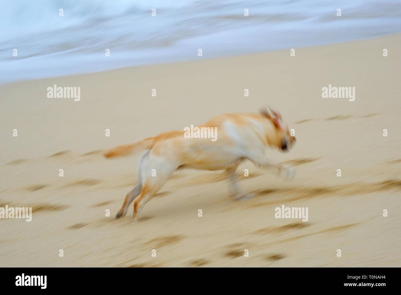 Blurred image of a labrador retriever running across a sandy beach - John Gollop - Stock Image