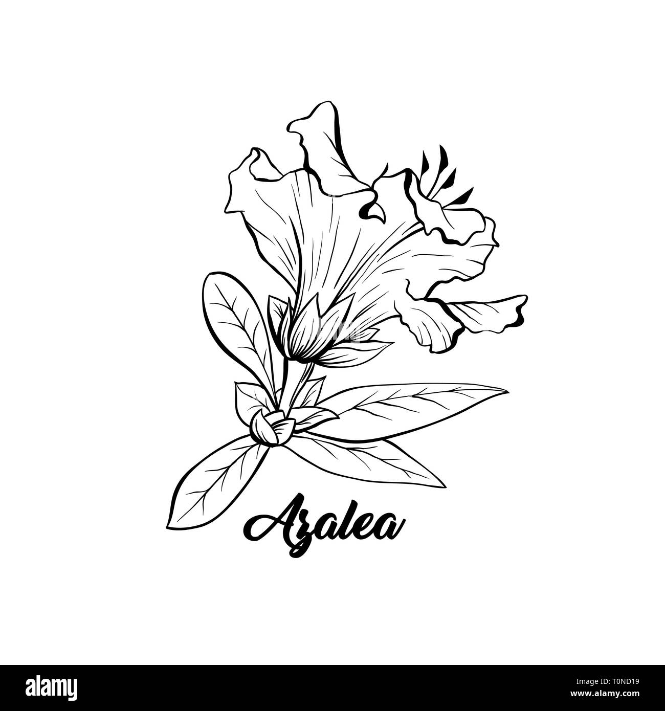 Azalea, ericaceae japonica flower hand drawn illustration. Beautiful blooming plant ink pen sketch. Freehand outline floral blossom engraving. Greeting card monochrome isolated design element - Stock Vector