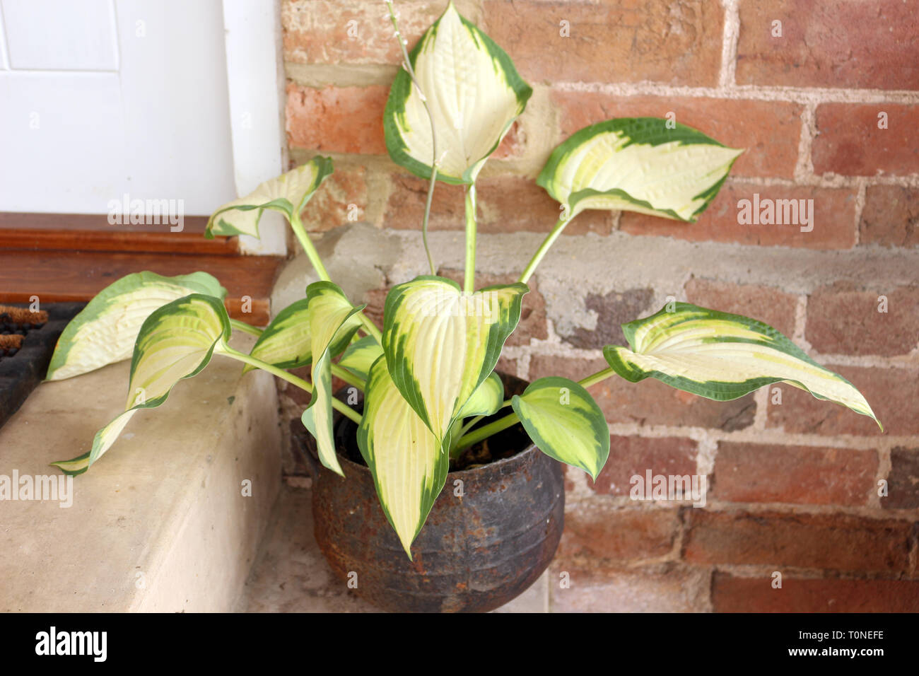 House And Pot Plant Variegated Stock Photos & House And Pot ... on twisted leaf house plants, vine leaf house plants, spotted leaf house plants, red leaf house plants, long leaf house plants, green leaf house plants, purple leaf house plants, tropical green plants, big leaf plants, small leaf house plants, striped leaf house plants,