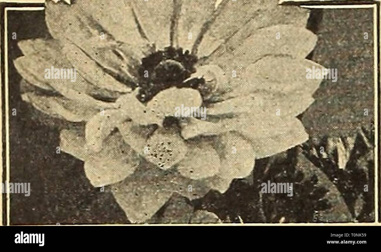Dreer's autumn 1945 planting guide Dreer's autumn 1945 planting guide  dreersautumn19451945henr Year: 1945  Dreer's Hardy Flowering Bulbs iK'^^^    St. Brigid Anemone Giant Poppy-Flowered Anemones Valuable for growing in the cold frame or the garden if well protected during the winter months. Also much in esteem for growing in the green- house or conservatory. 40-025 Giant French Mixed {De Caen). Includes a wonderful range of colors—blue, white, rose, scarlet, etc. 3 for 25c; 12 for 80c; 25 for $1.40; 100 for $5.00. 40-027 St. Brigid (Creagh Castle Strain). A famous Irish strain of semi-double - Stock Image