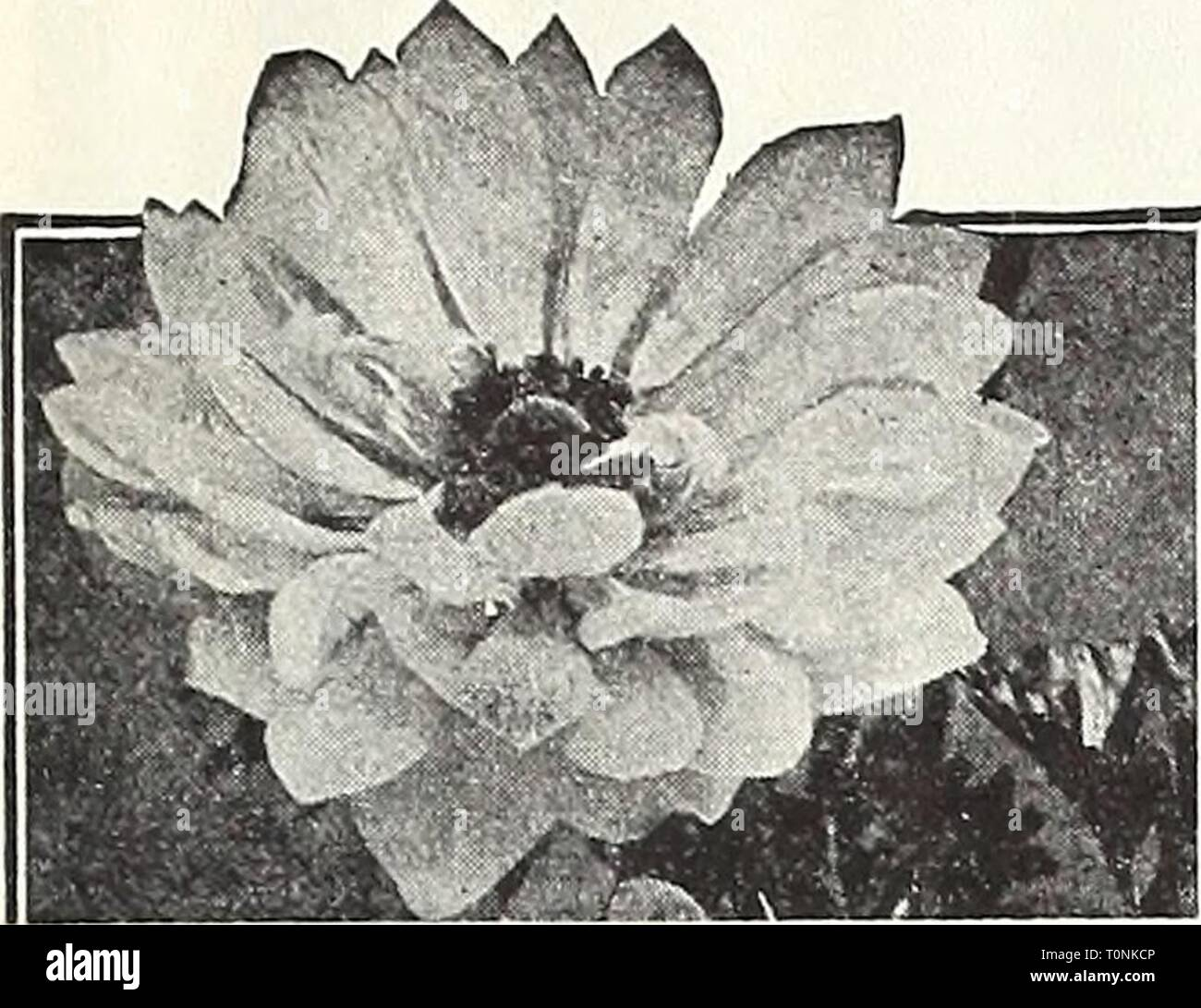 Dreer's autumn 1946 planting guide Dreer's autumn 1946 planting guide  dreersautumn19461946henr Year: 1946  Dreer's Hardy Flowering Bulbs That Bloom During Spring, Summer, & Fall    St. Brigid Anemone Giant Poppy-Flowered Anemones Valuable for growing in the cold frame or the garden if well protected during the winter months. Also much in esteem for growing in the green- house or conservatory. 40-025 Giant French Mixed {De Caen). Includes a wonderful range of colors—blue, white, rose, scarlet, etc. 3 for 2Sc; 12 for 80c; 25 for $1.40; 100 for $5.00. 40-027 St. Brigid (Creagh Castle Strain). A  - Stock Image