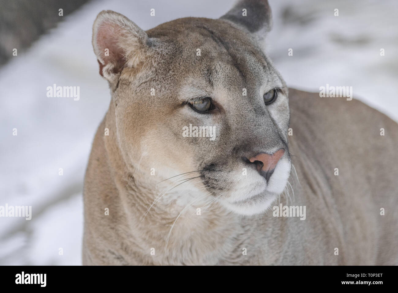 Cougar (Puma concolor), head portrait, looking to the right - Stock Image