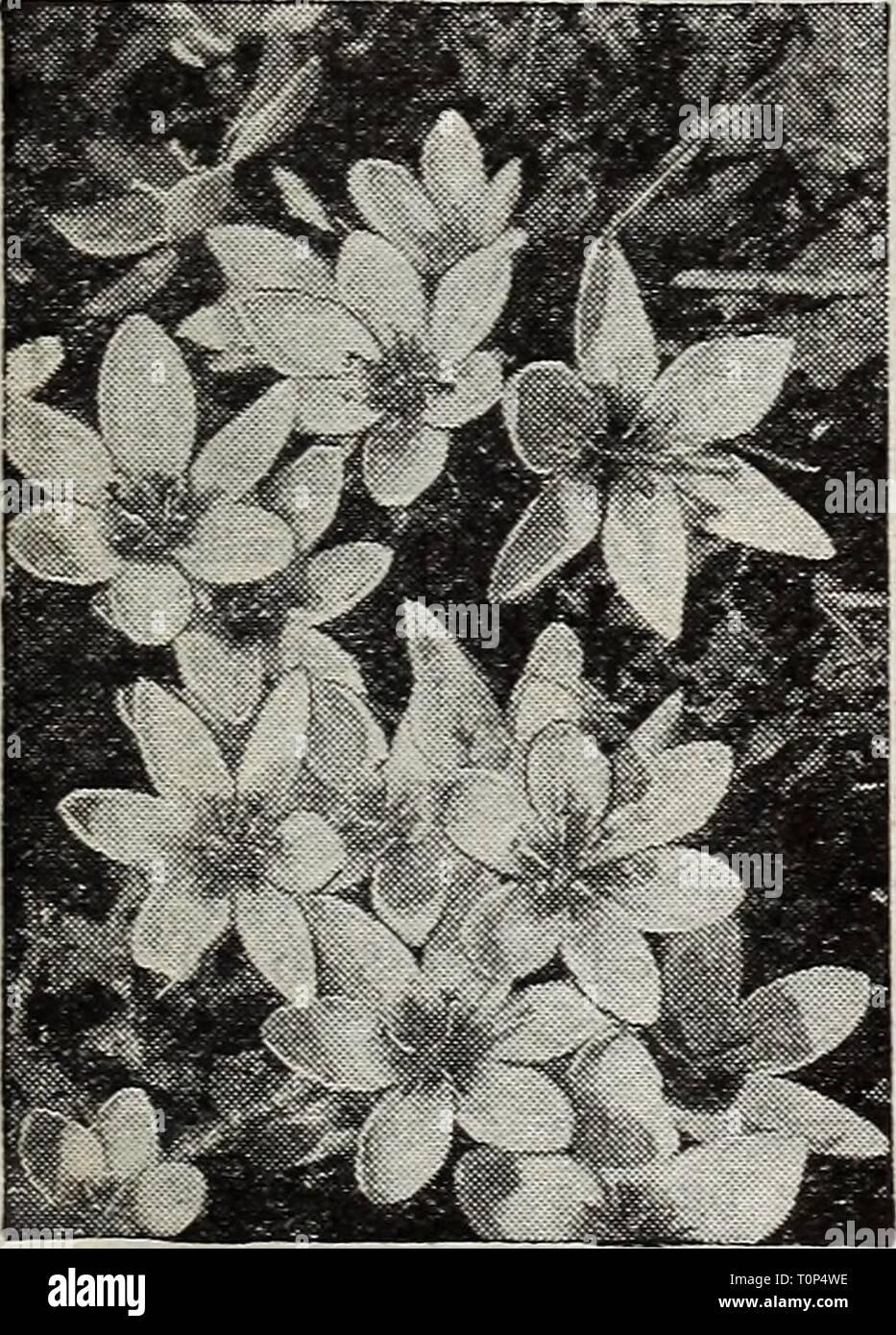 Autumn Major Colchicum Fall Crocus 20 Seeds
